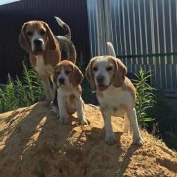 Belos filhotes de Beagle