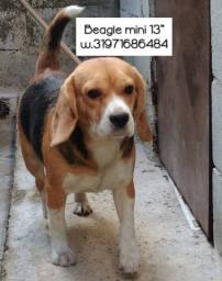 Beagle para cruzar adulto macho padreador beagle mini tricolor