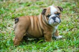 Bulldog filhote