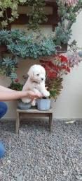 Título do anúncio: Poodle Macho, Promoção!