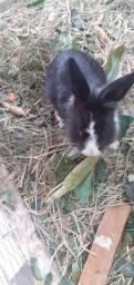 Mini coelho hotot 80.00