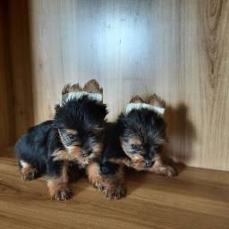 Lindos bebês de yorkshire mini
