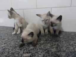 Siamês - Gatos siamês para doação