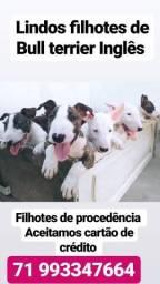 Lindões e Tops filhotes de Bull Terrier Inglês