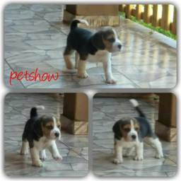 Filhotes de Beagle Tricolor
