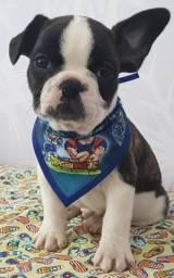 Bulldog Francês Macho / Disponível na SNOW DOG portão