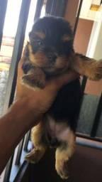 Yorkshire Terrier tamanhos micro e padrão, chamar no what's ou ligue (11)98873-6542