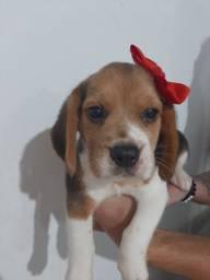 Beagle Fêmea Filhotes *Vacinadas *Pedigree *Garantia