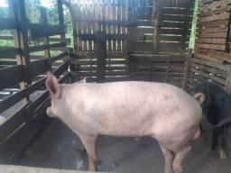 Vendo esse porco