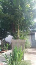 Palmeira Imperial Vectra