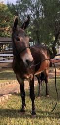 A verdadeira mula de patrão !