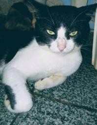 Adoção - gato