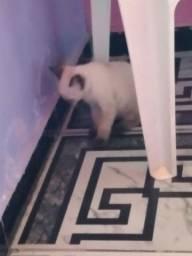 Título do anúncio: gato siamês adoção consciente