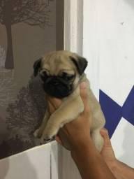 Pug?s Abricot