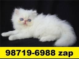 Gatil em BH Filhotes de gatos Persa Siamês ou Angora