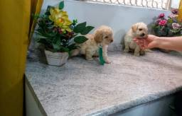 Filhotes de Poodle Toy