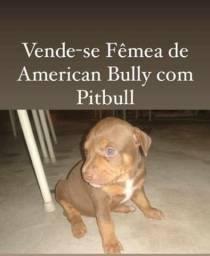 Filhote de American Bully com Pitbull fêmea