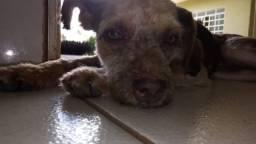Adoção Cadela Mansa Cachorro