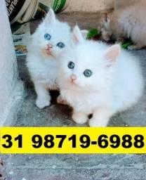 Gatil em BH Maravilhosos Filhotes de gatos Angora Persa ou Siamês