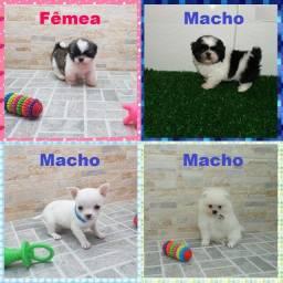 Chihuahua macho anão