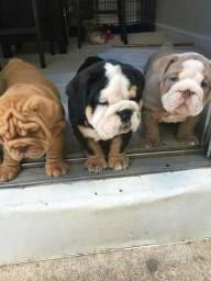 Bulldog Inglês - filhotes a pronta entrega