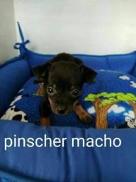 Pinscher macho