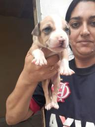 Vendo filhote de Pitbull lindos de mais com 30 dias