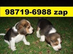 Canil Profissional Cães Filhotes BH Beagle Maltês Bulldog Yorkshire Shihtzu Poodle