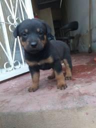 filhote de Rottweiler puro femia
