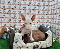 Título do anúncio: Lindos filhotes Bul Terrier