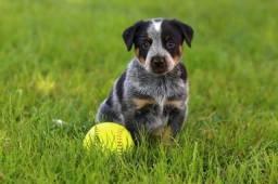 Australian Cattle Dog Pronta para Entrega - pedigree