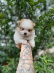 Título do anúncio: Lulu da Pomerania c/ pedigree + vacina + suporte veterinário ligue 11.9.4476.4862