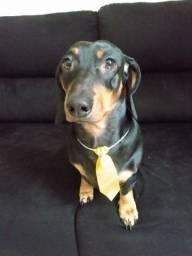 Macho Basset dachshund procura fêmea para cruzar