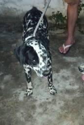 Título do anúncio: Cachorro Dalmata