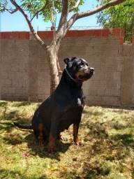 Título do anúncio: Fêmea Rottweiler a venda