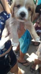 Cachorro de raça coquiesp 550