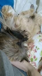 Namorado reprodutor (Lhasa apso)