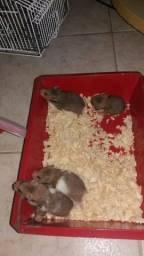 Hamster pra venda