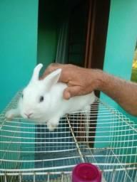 Vendo coelho Netherland