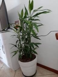 Vaso com planta bambú da sorte