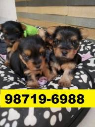 Canil Filhotes Cães Premium BH Yorkshire Poodle Shihtzu Maltês Lhasa Beagle
