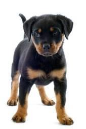 Lindos filhotes de Rottweiler !!