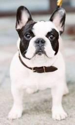 Título do anúncio: Bulldog Francês, macho já vacinado e vermifugado, com todas as garantias em contrato.
