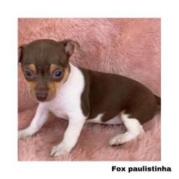 Título do anúncio: Fox paulistinha com pedigree e micro chip em até 12x
