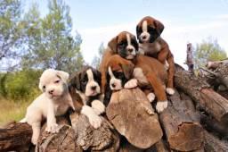 Filhotes lindos de Boxer já vermifugados lindos !!
