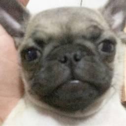 Pug abricó