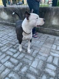 American Pitbull Terrier - Grátis uma saca de ração de 25kg