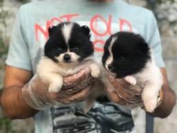Filhotes de Lulu da Pomerania, disponíveis $$