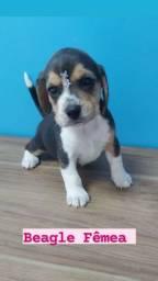Beagle filhotes, com ótima procedência