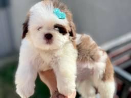 Maravilhosos Filhotes Mini Shih tzu com Pedigree